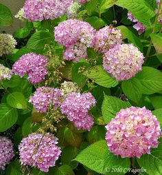 Endless Summer Hydrangea: A shade loving plant that will give you flowers and happiness all summer long!