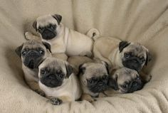 pugsfromouterspace: The Gang