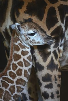 BIOPARC Valencia recently announced the birth of a lovely female Rothschild's Giraffe. The healthy calf has been spending time bonding with mom, Bulería. Father Julius and the rest of the herd have also been introduced to the almost-one-month-old Giraffe.