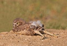 Burrowing Owl! Love the butt.