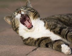 Feline Odontoclastic Resorptive LesionsCommon Dental Issue Often Goes Undiagnosed