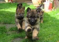 Cute German Shepard Puppies!