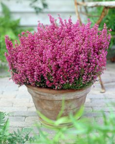 Gardening Autumn - Erica carnea Gracilis - With the arrival of rains and falling temperatures autumn is a perfect opportunity to make new plantations Balcony Flowers, Balcony Plants, Garden Planters, Heather Plant, Heather Flower, Plants For Hanging Baskets, Winter Plants, Hardy Plants, Autumn Garden