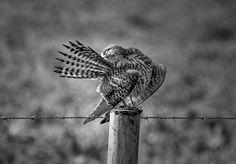 FALCÃO - Falco tinnunculus
