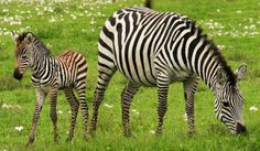 Zebras and the question of why they have those stripes results in many debates amongst wildlife enthusiasts. Learn the reason for stripes and various other interesting facts about them