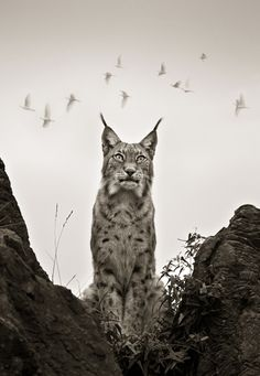 Eurasian Lynx (Lynx lynx) are found from the Alps to Siberia.  -kc