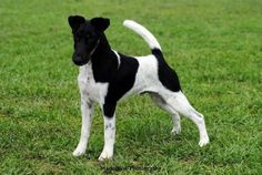 Aust Ch Waitapu Instyles Y Not - Owned by Jane Cantlon - This guy is also dad to my fox terriers, Willow and Spike.