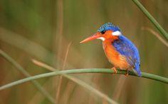 Free computer kingfisher pic, 1920x1200 (234 kB)