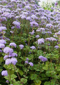 Siniset ja liilat kesäkukat tuovat kesäisen vehreyden keskelle kuulautta ja rauhaa. Ne muodostavat upeita yhdistelmiä valkoisten ja kellertävien kukkien kanssa. Katso Viherpihan ideat.