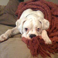 Our dog, Anchor. White boxer
