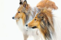 Shelties in the Snow