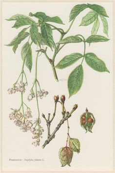 1960 Vintage Botanical Print Staphylea pinnata by Craftissimo