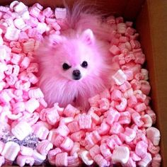 Things we admire about the Fun Pomeranian Dogs Find Out More On Bold Pomeranian Puppies Pink Animals, Baby Animals, Cute Animals, Cute Puppies, Cute Dogs, Corgi Puppies, Pomeranian Puppy, Chihuahua, Pink Dog