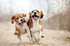 Photographic Print: Two Funny Beagle Dogs Running by Ksuksa : 24x16in