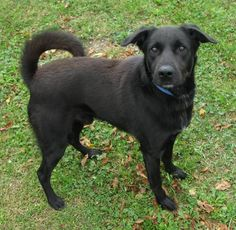 """URGENT!!!! LOVABLE  LAB """"SAWYER"""" NEEDS A LOVING HOME! CAN YOU HELP THIS SWEET GUY???COLUMBIANA ADOPTION CENTER LISBON, OHIO...I'm SAWYER and I am about 2 yrs old and 45 pds. I am a bit shy at first however within a few minutes I am all about love and attention. I like the other dogs but I am a little nervous at first with them. I try to hide behind whoever but I never do..."""