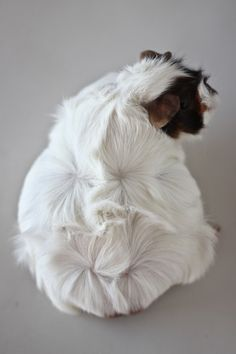 cute pregnant guinea pig.  One of our family members looked like this when we…