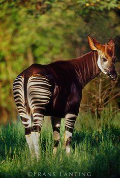 Okapi, Okapia johnstoni, Native to Central Africa