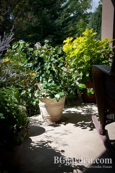 Lemon Shrub - image from my front porch along with tips on how to grow them in containers on my blog post today. 8/12