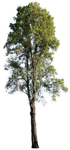 2504 x 5359 Pixels. PNG. Cut out photo tree, Black poplar, Populus nigra.