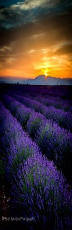 Lavender field at dawn near Valensole, Provence France. © Brian Jannsen Photography