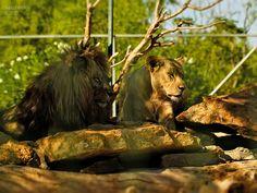 https://flic.kr/p/x1C1Ro   lions  