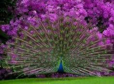 Peacock with background of Rhododendron
