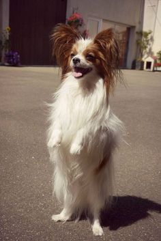 72 best papillons images on pinterest in 2018 papillons dogs and 72 best papillons images on pinterest in 2018 papillons dogs and papillon dog solutioingenieria Images
