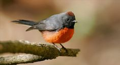 Slate-throated Whitestart, Myioborus miniatus, in Oaxaca, MX. New World Warbler. The most widespread species in the genus Myioborus: N MX to south to N Bolivia. It is a species which shows a high degree of geographic variation