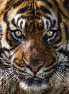 Los tigres y su atractivo salvaje en 20 fotografías