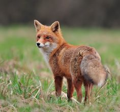 Red Fox by Uros Poteko