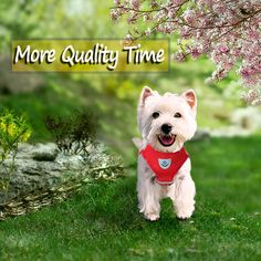 Pretty Animals, Cute Animals, Terrier Dog Breeds, Dog Harness, Westies, Scottie, Quality Time, Maya, Your Dog