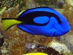 blue regal tang see: https://en.wikipedia.org/wiki/Paracanthurus