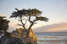 Image result for california cypress tree