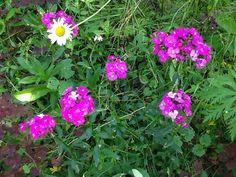 Harjaneilikka kasvoi villinä tien ojassa ja keräsin muutaman taimen pihaan saunanpolulle. Nyt se leviää siellä .