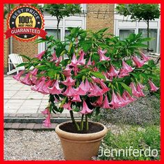 200Pcs Poeetd Plant Brugmansia Flower Angel Trumpet Fragrant Datura Tree Seeds #Bonsai