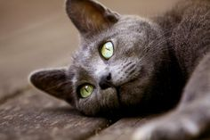 russian blue- i had a cat like this... when the sun hit his fur at the right angle it was iridescent
