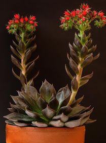 Echeveria Black Prince flowers in the fall Beautiful Flowers, Planting Succulents, Flowers, Orchids, Flowering Succulents, Cactus Plants, Plants, Blooming Succulents, Planting Flowers