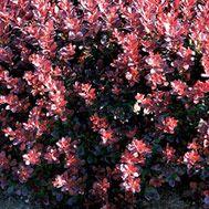 Japanese barberry  Latin name: Berberis thunbergii  Zone 5-8
