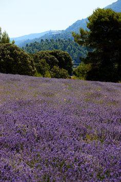 Lavender, Alcoy, Alicante, Spain