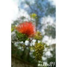Native Hawaiian Plants (@native_hawaiian_plants) • Instagram photos and videos Hawaiian Plants, Dandelion, Photo And Video, Videos, Flowers, Photos, Instagram, Pictures, Dandelions