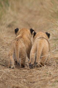 ^Lion cubs