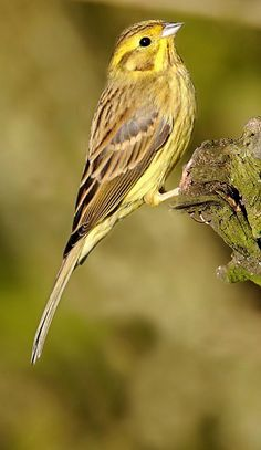 Yellow Hammer. The male yellowhammer is a striking bird: he has a bright yellow head and belly, with an orangey chest and streaky, brown back. Yellowhammers are often seen perched on top of bushes singing their 'a little bit of bread and no cheese' song. The female builds a cup-shaped nest from grass and moss, laying between two and six eggs.