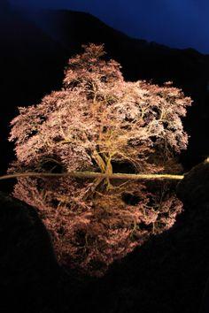 Sakura tree of Komatsunagi at Achi, Nagano, Japan - supposedly 400 to 500 years old 駒つなぎの桜 :photo by Komine Tetsuya