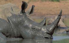 "Rhino Love (@rhinolover.vn) on Instagram: ""Here is a rhino having a mud bath❤️ photographer: Nigel Dennis Credited by : @rhino_awareness . .…"""