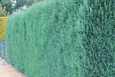 Chamaecyparis lawsoniana 'Columnaris' - blauwe haagconifeer - Coniferen, Haagplanten, Haagplanten: groenblijvend | Maréchal