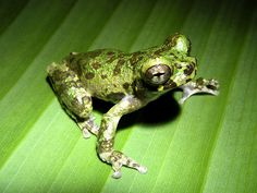 Lacanster's Treefrog - Isthmohyla lancasteri  Isthmohyla lancasteri (Hylidae) is a nocturnal frog distributed in Costa Rica and Panama. It is a medium-sized treefrog (males to 34 mm, females to 41 mm), with large eyes and a very short, blunt snout.  This species exhibits a rather amazing degree of morphological and behavioral variation depending on altitude