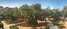 Gethsemane Garden with olive trees
