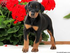 Crystal Doberman Pinscher puppy #greenfieldpuppies #dobermanpinscher