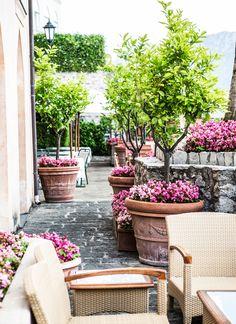 pink Begonias growing in old large terracotta pots under standard Lemon trees