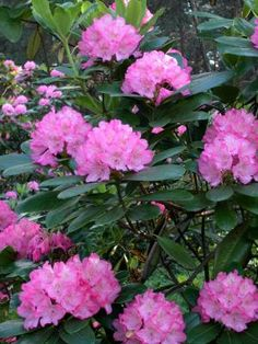 How to Prune Rhododendron Bushes-- need a sunny spot with a few hours of shade. Pruning Rhododendrons, Pruning Shrubs, Flowering Shrubs, Trees And Shrubs, Shade Shrubs, Dwarf Trees, Shade Garden, Garden Plants, Rhododendron Care